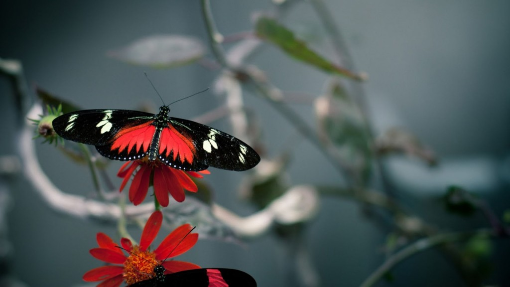 red butterfly wallpaper hd